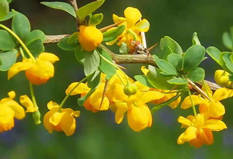 Berberis insignis | Barberry | 10_Seeds