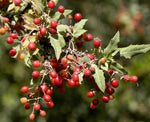 Berberis nevinii | Nevins Barberry | 10_Seeds