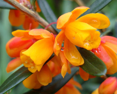 Berberis trigona | Orange King | 10_Seeds