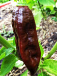 Bhut Jolokia Naga Chocolate | Ghost Chili Pepper | 20_Seeds