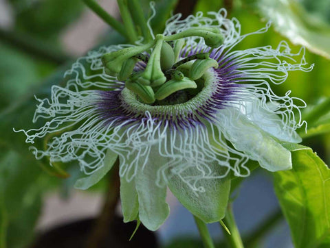 Passiflora edulis cv Black night | Passion Vine | 20_Seeds