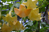Brugmansia aurea | Orange Glory | Angel Trumpet | 20_Seeds