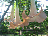 Brugmansia versicolor Peach | 10_Seeds