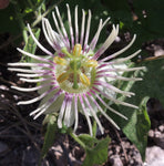 Passiflora bryonioides | Cupped Passion Flower | 10_Seeds