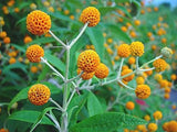 Buddleja globosa | Orange Ball Tree | 50_Seeds