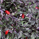 Capsicum annuum Calico | Ornamental Pepper | 50_Seeds