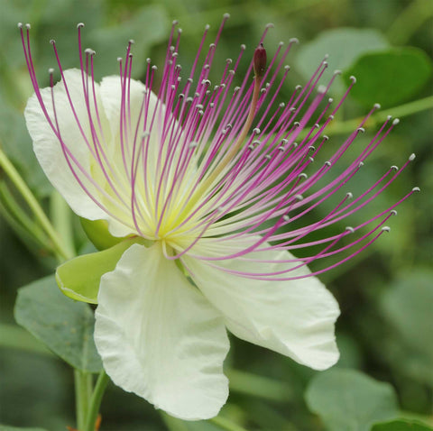 Capparis spinosa | Spineless Caper Bush | Flinders Rose | 50_Seeds