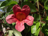 Bignonia capreolata Atrosanguinea | Red Cross Vine | Trumpet Flower | 5_Seeds