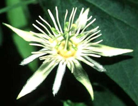 Passiflora capsularis | Red Granadilla | 10_Seeds