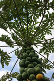 Carica papaya Kamiya | Laie Gold | Golden Hawaiian Papaya | 100_Seeds