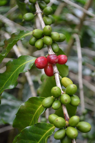 Coffea arabica Caturra | Dwarf Coffee | 5_Seeds
