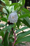 Costus speciosus | Crepe Malay Ginger | Canereed  | 20_Seeds