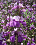Collinsia heterophylla | Chinese Houses | 200_Seeds