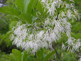 Chionanthus virginicus |  Fringe Tree | Grancy Graybeard | 5_Seeds