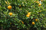 Poncirus trifoliata | Contorted Flying Dragon | Trifoliate Orange | 10_Seed