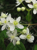 Clematis virginiana | Devils Darning Needles | Virgins Bower | 50_Seeds