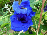 Clitoria ternatea Double Blue | Butterfly Pea | 5_seeds