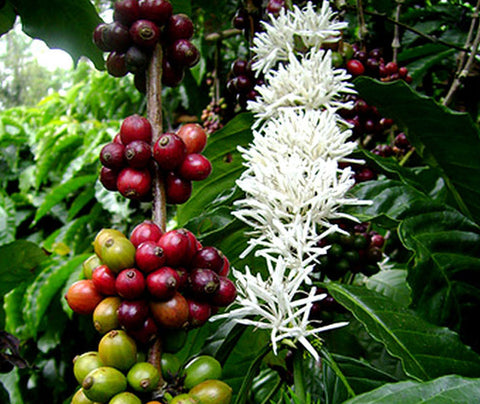 Coffea arabica | Arabian Coffee | 10_Seeds