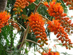 Colvillea racemosa | Colvilles Glory | Whip Tree | 10_Seeds