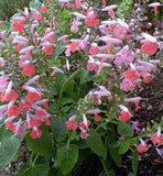Salvia coccinea Coral Nymph | Texas Hummingbird Sage | 20_Seeds