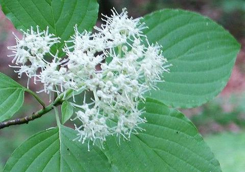 Cornus alternifolia | Green Osier | Alternate Leaf Dogwood | 20_Seeds