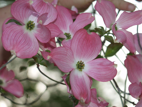 Cornus florida rubra | Pink-flowering Dogwood | 10_Seeds