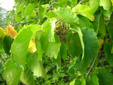 Corylus colurna | Turkish Tree Hazel | 5_Seeds