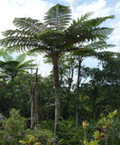Cyathea medullaris | Black Tree Fern | 100_Spores
