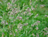 Dactylis glomerata | Cocks Foot | Orchardgrass | 50_Seeds