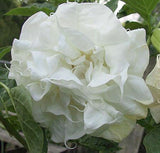 Datura metal Double White | Angel Trumpet | 10_Seeds