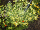 Anethum graveolens | Dill | 100_Seeds
