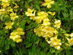 Dolichandra unguis cati | Cats Claw Trumpet | Funnel Creeper |10_Seeds
