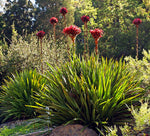 Doryanthes excelsa | Giant Flame Lily | 10_Seeds