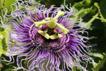 Passiflora edulis Golden Giant | 5_Seeds