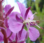Epilobium angustifolium | Fireweed | Great Willowherb | Rosebay | 50_Seeds