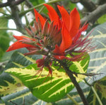 Erythrina variegata | Thorny Dadap | Easter Flower |Indian Coral Tree | 5_Seeds