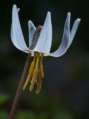 Erythronium albidum | White Fawnlily | Trout Lily | Adders Tongue | 10_Seeds