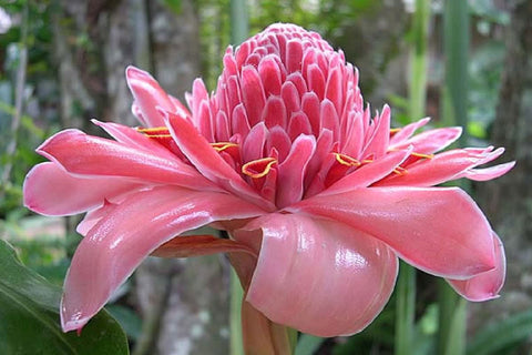 Etlingera elatior Pink | Torch Ginger | Combrang | Wax Flower | 20_Seeds