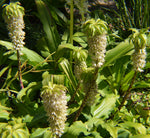 Eucomis bicolor | Variegated Pineapple Lily | 20_Seeds