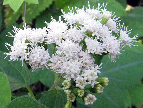 Ageratina altissima | Chocolate Joe Pye Weed | 200_Seeds