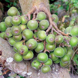 Ficus racemosa | Indian Cluster Fig Tree | Goolar | Gular | 200_Seeds