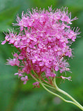 Filipendula rubra | Queen Of The Prairie | 10_Seeds