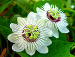 Passiflora foetida | Wild Maracuja | Bush Passion Fruit | 5_Seeds