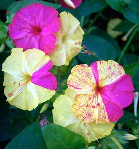 Mirabilis jalapa Broken Colors | Four OClock | Marvel of Peru | 5_Seeds