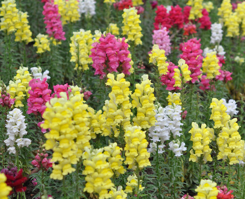 Antirrhinum majus Maximum | Garden Snapdragon | 200_Seeds