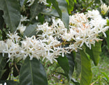 Coffea arabica Gesha | Geisha Coffee | 20_Seeds