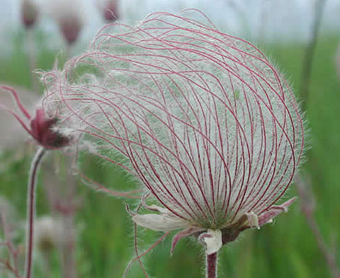 Geum triflorum | Prairie Smoke | 20_Seeds