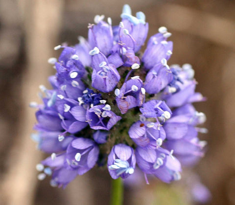 Gilia capitata | Queen Annes Blue Thimble Flower | 100_Seeds