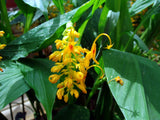 Globba schomburgkii | Dancing Girl Ginger | 10_Seeds