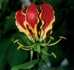 Gloriosa superba | Flame Lily | 20_Seeds